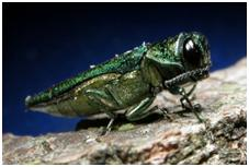 Adult Emerald Ash Borer insect