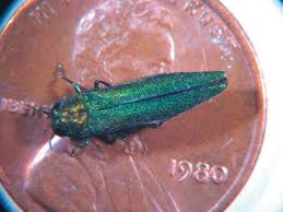 Emerald Ash Borer insect on penny